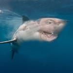 Great-White-Shark3