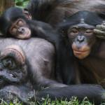 bonobo empathy